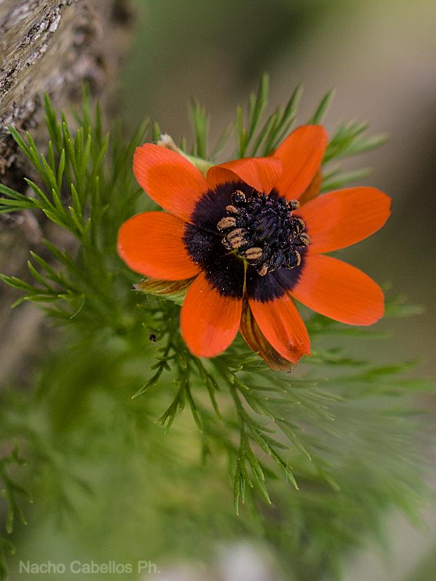flor actinomorfa y hojas muy divididas en Adonis.