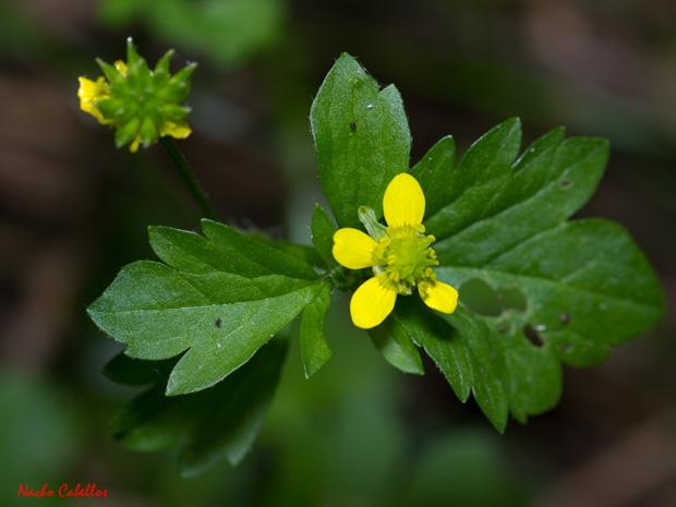 Flor actimomorfa y pentámera, hojas algo divididas y fruto en poliaquenio en Ranunculus.
