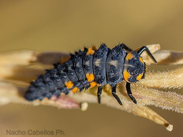 Larva de Coccinella.