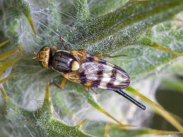 Urophora mauritanica