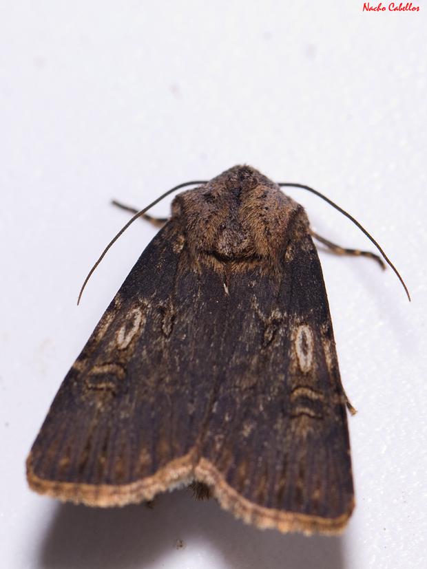 Agrotis catalaneunsis