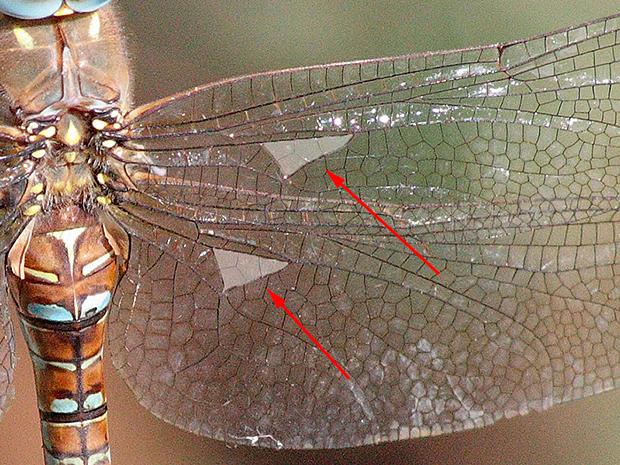 Detalle del ala de Aeshna mixta, en le que se aprecian los triángulos discoidales orientados en sentido longitudinal del ala.