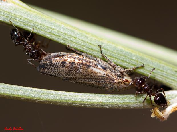 Selenocephalus sp. adulto, atendido por hormigas del género Crematogaster.
