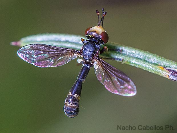 Physocephala sp.