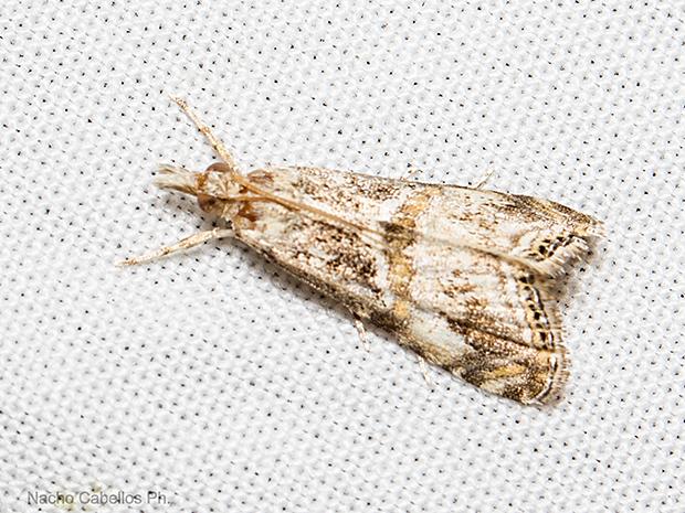 Euchromius cambridgei