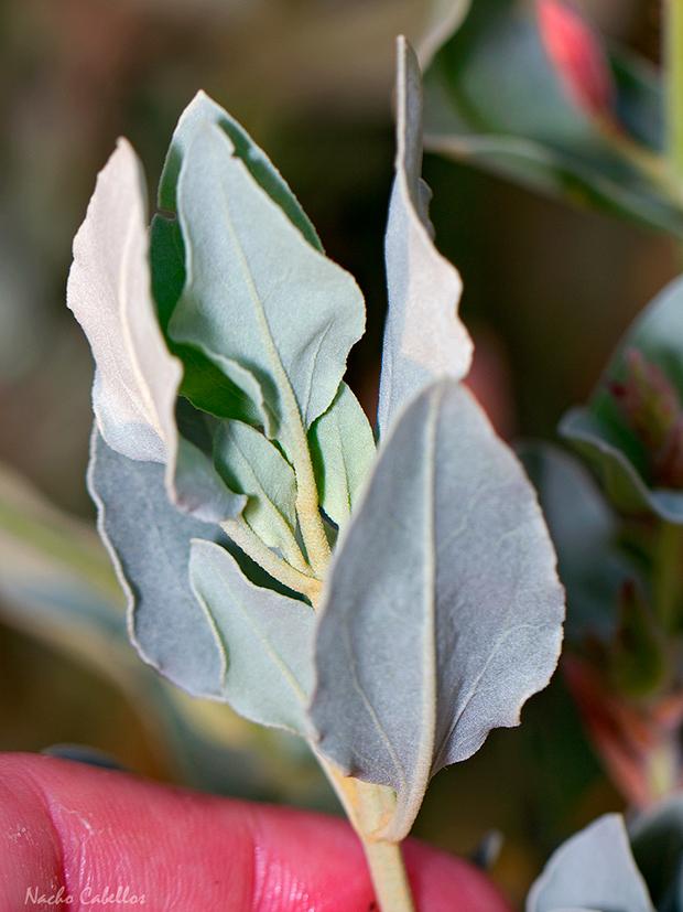 Halimium atriplicifolium (Lam.) Spach